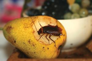 Cockroach_300x200