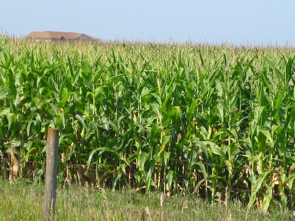 An-Iowa-corn-field