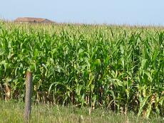 An-Iowa-corn-field