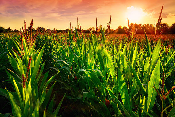 corn sunset.png