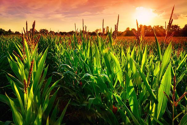 corn sunset.png