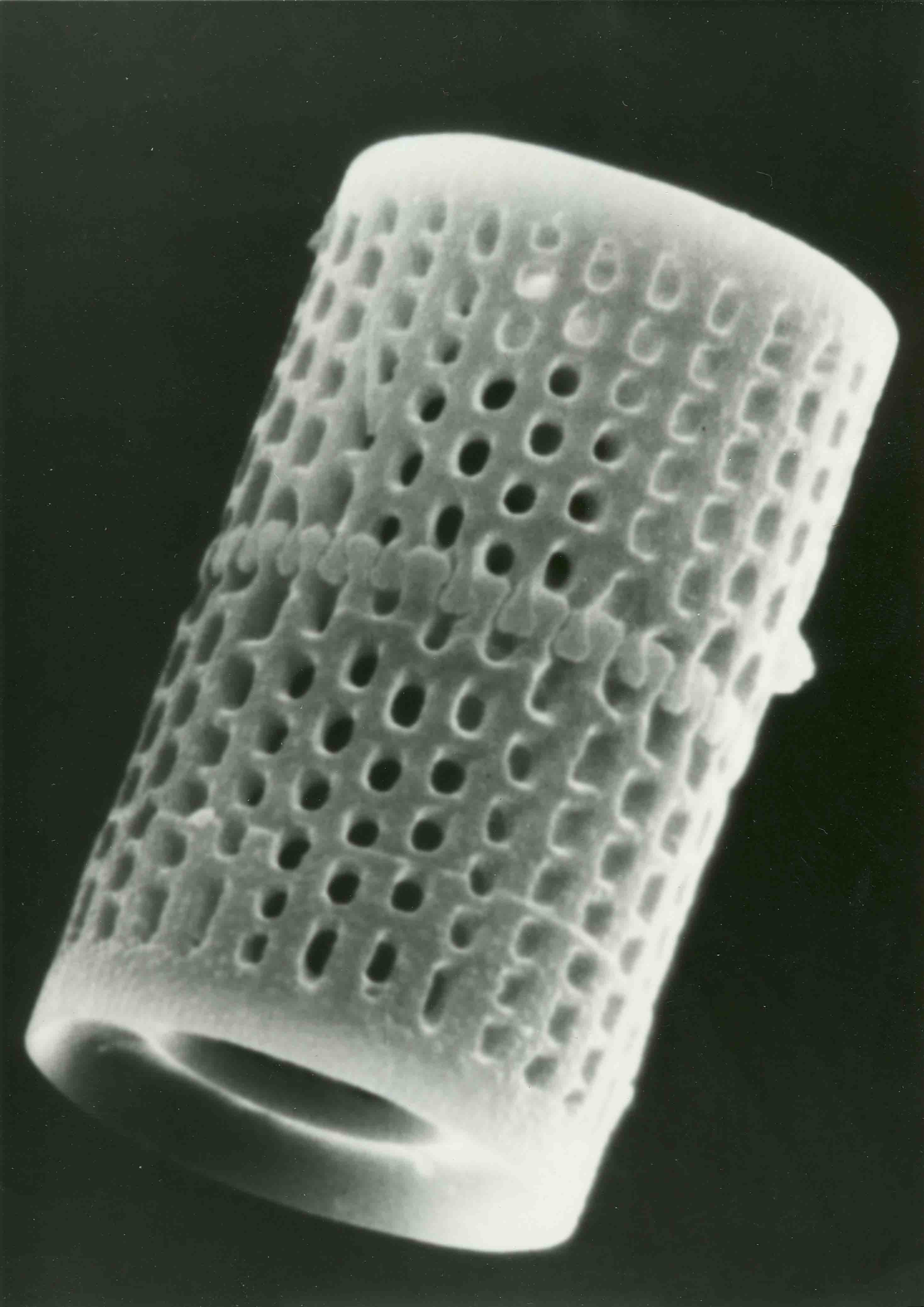 Single_Diatom_-_Large